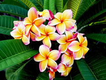 Plumeria flowers. Are beautiful tropical plants in Thailand Stock Images