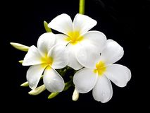 Plumeria flowers , with black background. Royalty Free Stock Photo