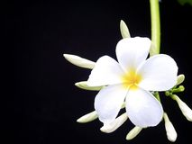 Plumeria flowers , with black background. Stock Photos