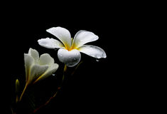Plumeria flowers, with black background Stock Photography