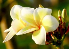 Plumeria flowers bloom gracefully royalty free stock photo
