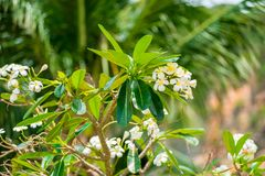 Plumeria flowers on the branches of a tree growing Stock Photo