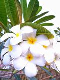 Plumeria flowers are bright colors. stock photo