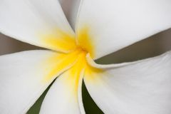 Plumeria flowers closeup � tropical plant Royalty Free Stock Images