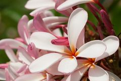 Plumeria flowers closeup — tropical plant Stock Image