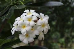 Plumeria flowers Stock Image