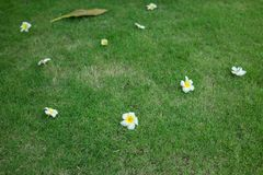 Plumeria flowers fall on green grass outdoor stock photography