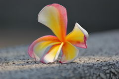 Plumeria. Flowers Fall to the ground but also beautiful Royalty Free Stock Image