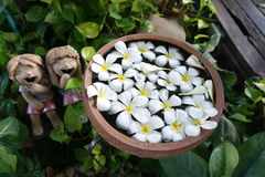 Plumeria flowers floating on the water Royalty Free Stock Images