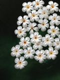 Plumeria flowers floating on the water. White plumeria flowers floating on the water Stock Images