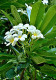 Plumeria flowers. The fragrance of plumeria flowers in Thailand. City and the growing popularity of home furnishings and gardens. There is a general consensus royalty free stock photography