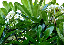 Plumeria flowers. The fragrance of plumeria flowers in Thailand. City and the growing popularity of home furnishings and gardens. There is a general consensus Stock Photos