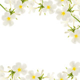 Plumeria flowers  frame isolated on white background. Stock Photos