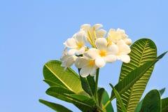 Plumeria flowers or Frangipani Stock Image