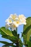 Plumeria flowers or Frangipani Stock Photos