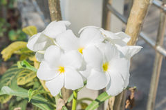 Plumeria flowers. Frangipani Flower or Plumeria flowers several, white flowers Royalty Free Stock Photo