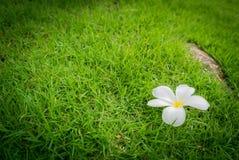 Plumeria flowers on green grass. Stock Photo