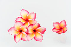 Plumeria flowers isolated. On white background Royalty Free Stock Photos