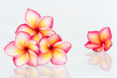 Plumeria flowers isolated Royalty Free Stock Photography