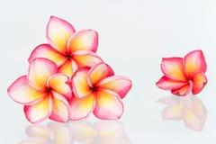 Plumeria flowers isolated. On white  background Royalty Free Stock Photography