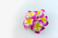 Plumeria flowers. Isolated on white background Stock Photography