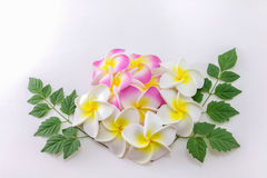 Plumeria flowers. Isolated on white background Royalty Free Stock Photo
