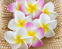 Plumeria flowers. Isolated on white background Stock Image
