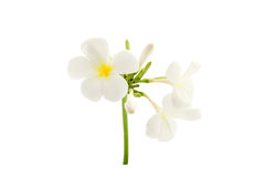 Plumeria flowers  isolated on white background.with clipping pat Royalty Free Stock Images