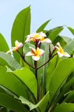 Plumeria flowers. With leaves in background Stock Photo