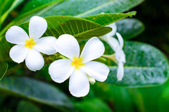 plumeria  flowers with leaves Royalty Free Stock Photos