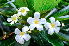 Plumeria  flowers with leaves Stock Photography