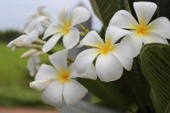Plumeria flowers royalty free stock photography
