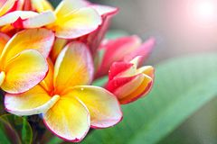 Plumeria flowers with lens flare effect Stock Photos