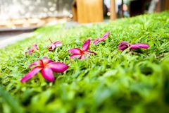 Plumeria Stock Photos