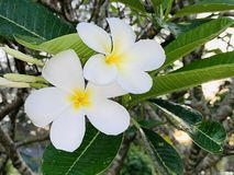 Plumeria flowers in the morning. (photos&#x29 royalty free stock photo