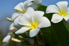 Plumeria Flowers Stock Images
