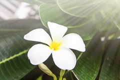Plumeria. Flowers, nature fresh flower Royalty Free Stock Photography