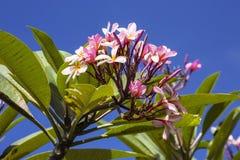 Plumeria flowers, Nusa Penida, Indonesia Stock Photos