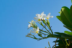 Plumeria flowers popularly known as Champa in India with bluesky background. Plumerias are primarily deciduous shrubs and small trees grown in tropical and sub Stock Photo