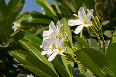 Plumeria flowers popularly known as Champa in India. Plumerias are primarily deciduous shrubs and small trees grown in tropical and sub-tropical regions Royalty Free Stock Photos