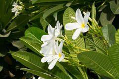 Plumeria flowers popularly known as Champa in India. Plumerias are primarily deciduous shrubs and small trees grown in tropical and sub-tropical regions Stock Image
