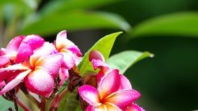 Plumeria flowers after rain stock video