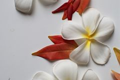 Plumeria flowers and red leaves frame on white background stock photo