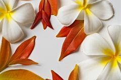 Plumeria flowers and red leaves frame on white background royalty free stock photos
