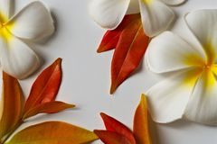 Plumeria flowers and red leaves frame on white background royalty free stock photo