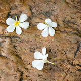 Plumeria flowers on the rock Royalty Free Stock Image
