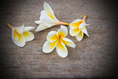Plumeria flowers on the rock Royalty Free Stock Photos