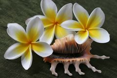 Plumeria Flowers and Shell Royalty Free Stock Image
