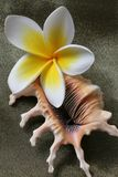Plumeria Flowers and Shell stock image