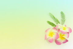 Plumeria flowers  in soft color,. Made with blur style for background Royalty Free Stock Photos
